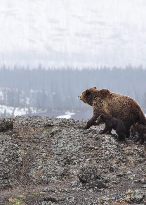 Panorama | Summer of the Bears